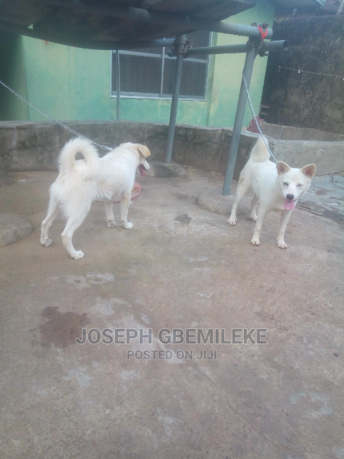 3-6 Month Male Purebred American Eskimo | Dogs & Puppies for sale in Abule Egba, Lagos State, Nigeria