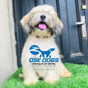 6-12 Month Female Purebred Lhasa Apso   Dogs & Puppies for sale in Lagos State, Ikorodu