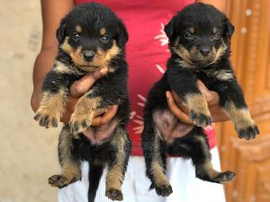 1-3 Month Male Purebred Rottweiler | Dogs & Puppies for sale in Lagos State, Ikorodu