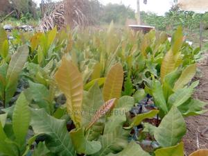 Cashew Seedlings | Feeds, Supplements & Seeds for sale in Ogun State, Odeda