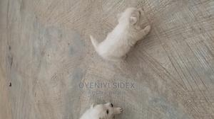 3-6 Month Male Purebred American Eskimo | Dogs & Puppies for sale in Abuja (FCT) State, Kubwa