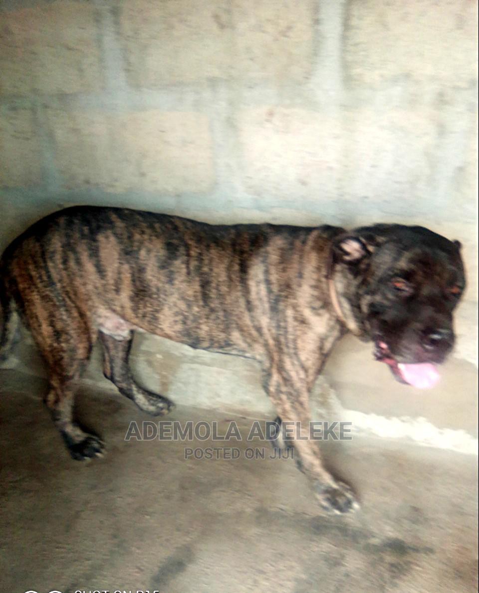 1+ year Male Purebred Boerboel   Dogs & Puppies for sale in Ado-Odo/Ota, Ogun State, Nigeria