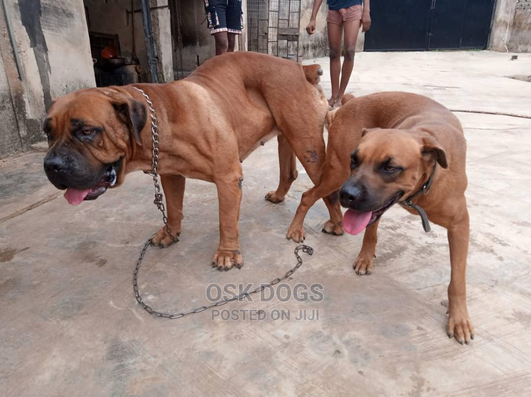 1-3 Month Male Purebred Boerboel | Dogs & Puppies for sale in Ikorodu, Lagos State, Nigeria