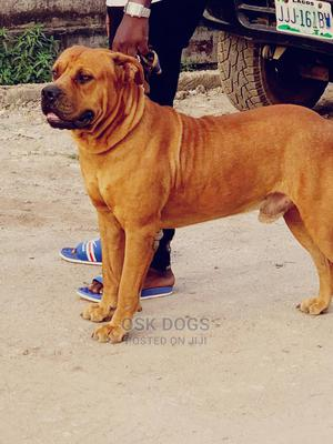 6-12 Month Male Purebred Boerboel | Dogs & Puppies for sale in Lagos State, Ikorodu