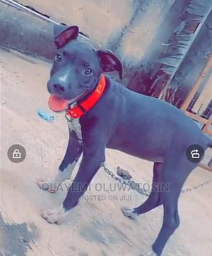 1-3 Month Female Purebred American Pit Bull Terrier | Dogs & Puppies for sale in Ondo State, Akure