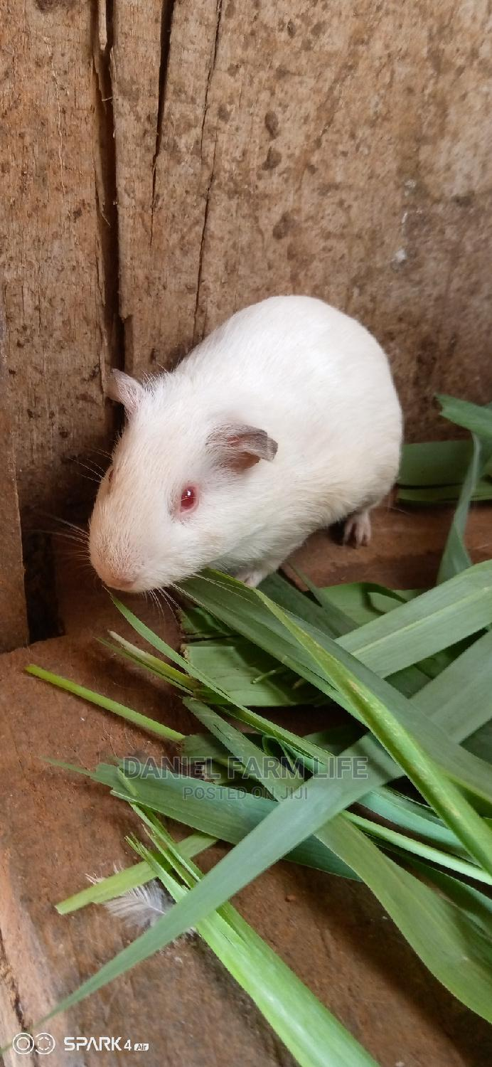 Guinea Pig Is Available