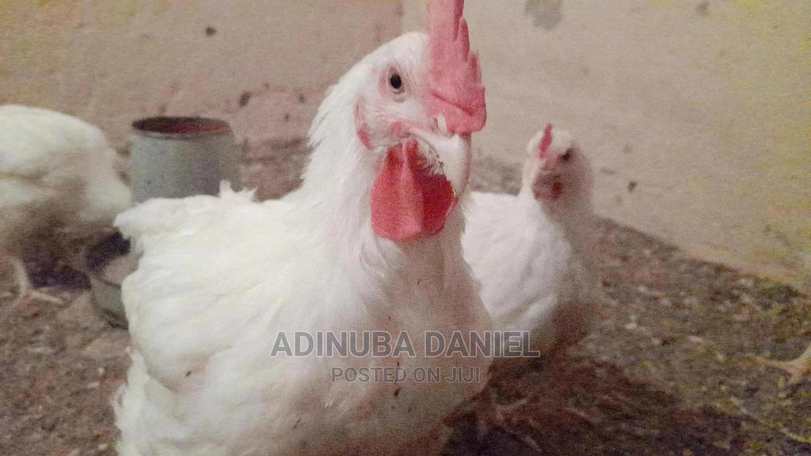 Archive: Broiler Chicken Breed