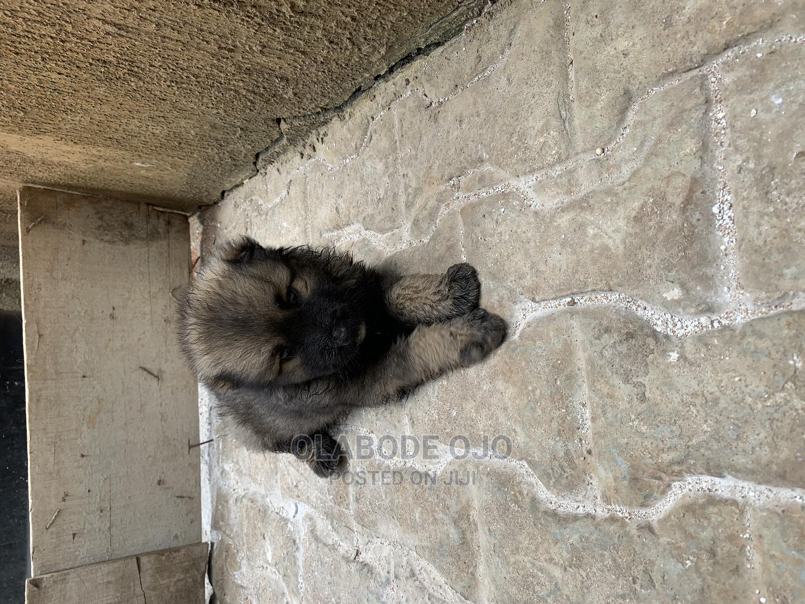 0-1 Month Female Purebred Caucasian Shepherd | Dogs & Puppies for sale in Isolo, Lagos State, Nigeria