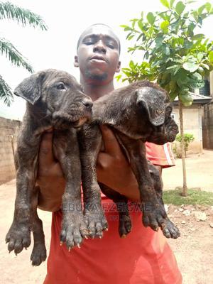 1-3 Month Male Purebred Boerboel | Dogs & Puppies for sale in Enugu State, Enugu