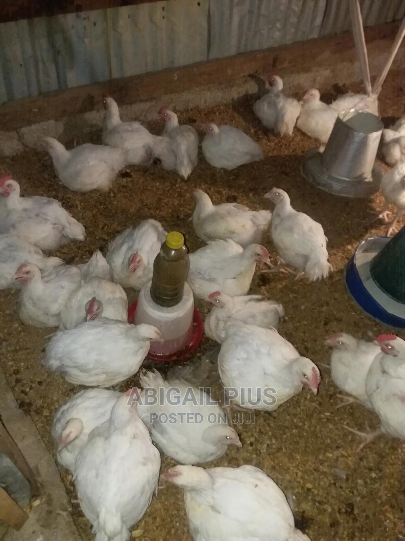 Archive: Broiler Chicken
