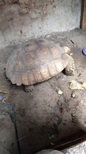 Tortoise P | Reptiles for sale in Lagos State, Ikorodu