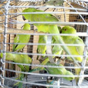 Parrots Pets | Birds for sale in Lagos State, Ikorodu
