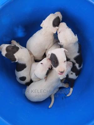 1-3 Month Male Purebred American Pit Bull Terrier | Dogs & Puppies for sale in Abuja (FCT) State, Kurudu