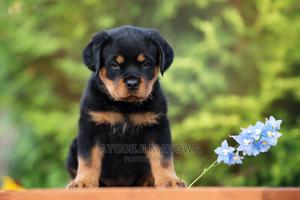 1-3 Month Male Purebred Rottweiler | Dogs & Puppies for sale in Lagos State, Ajah