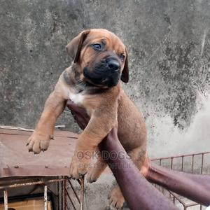 1-3 Month Male Purebred Boerboel | Dogs & Puppies for sale in Lagos State, Ikorodu