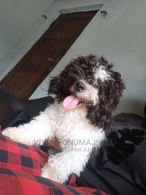 1+ Year Male Purebred Lhasa Apso | Dogs & Puppies for sale in Imo State, Owerri