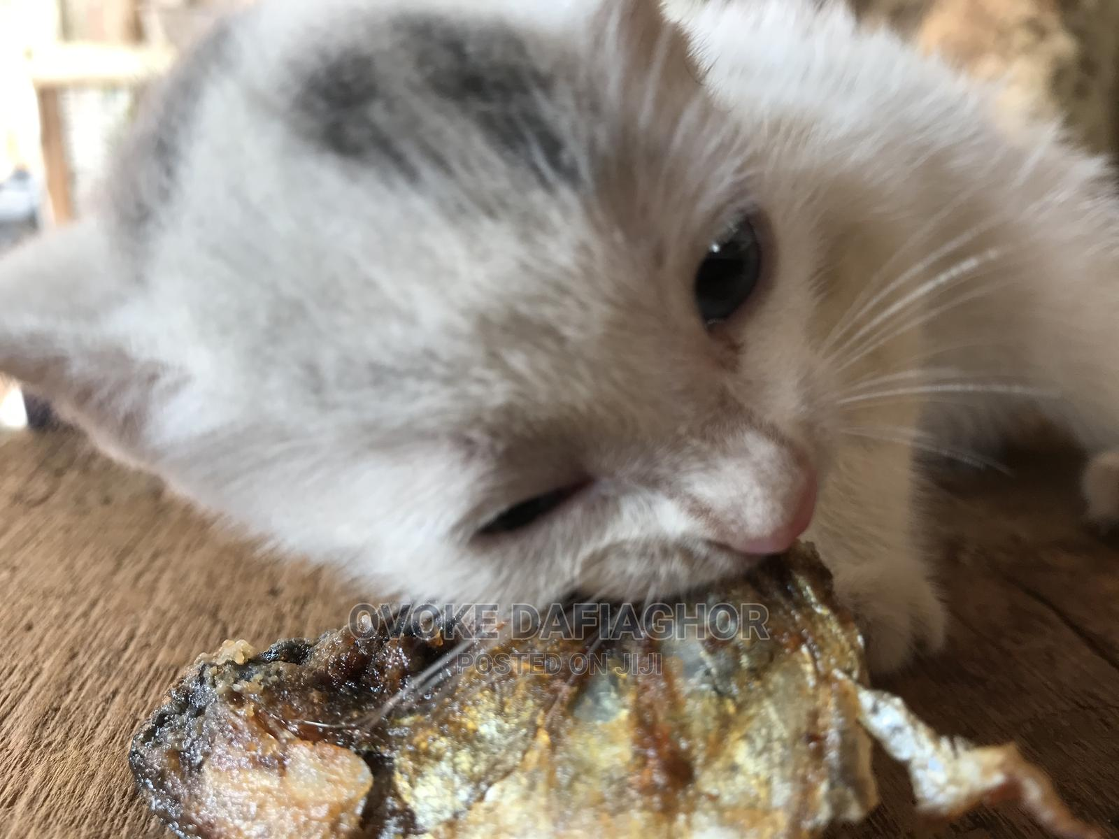 1-3 Month Male Purebred Exotic | Cats & Kittens for sale in Ikorodu, Lagos State, Nigeria