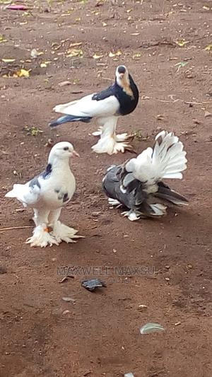 Foreign Pigeons | Birds for sale in Ogun State, Ilaro