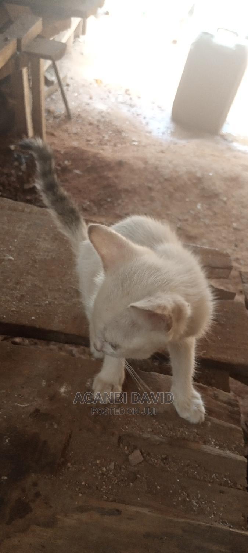 Archive: 1-3 month Female Purebred Savannah