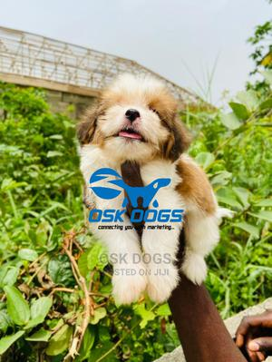 1-3 Month Male Purebred Lhasa Apso   Dogs & Puppies for sale in Lagos State, Ikorodu