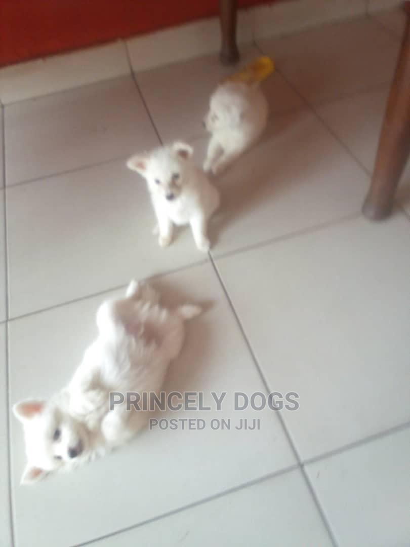 1-3 Month Female Purebred American Eskimo | Dogs & Puppies for sale in Oshimili South, Delta State, Nigeria