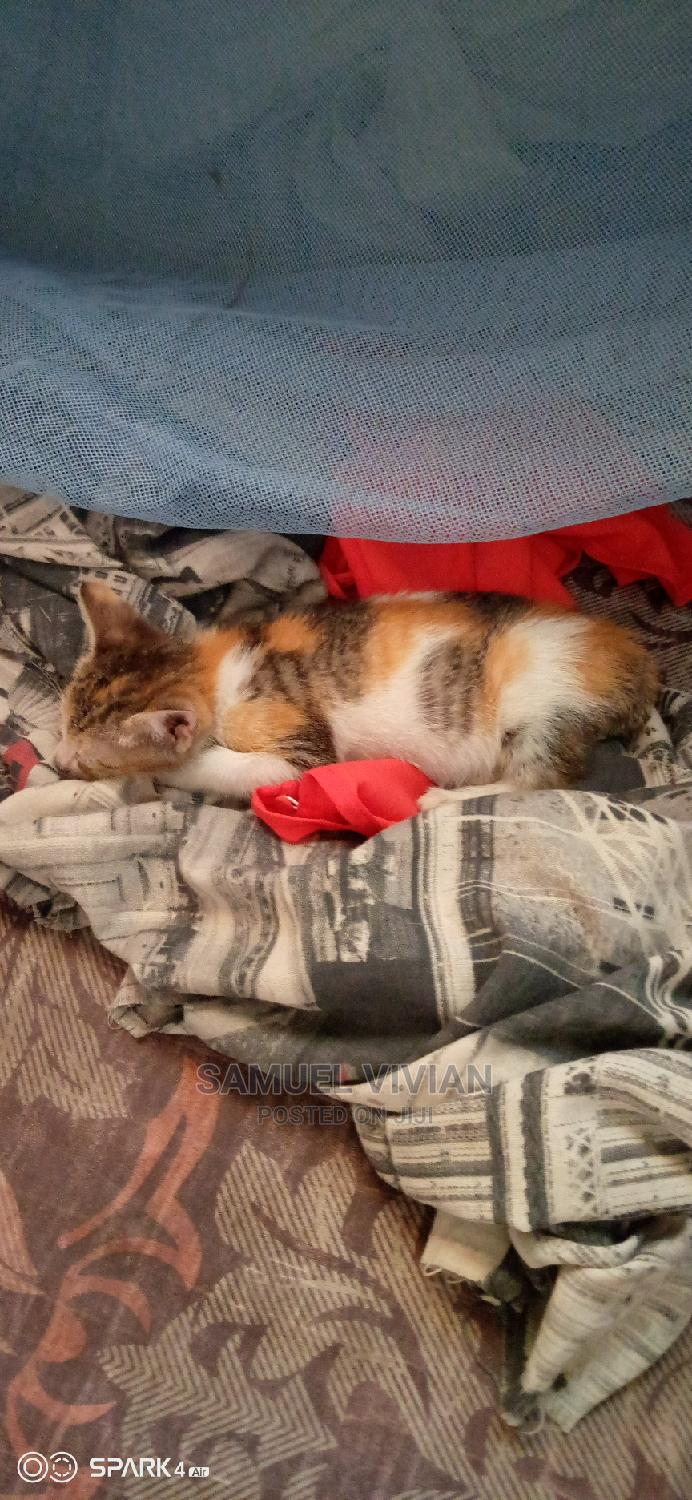 Archive: 1-3 Month Female Purebred American Wirehair