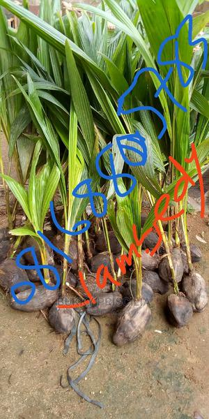 Hybrid Coconut Seedlings, and Other Seedlings of All Kinds. | Feeds, Supplements & Seeds for sale in Oyo State, Ibadan