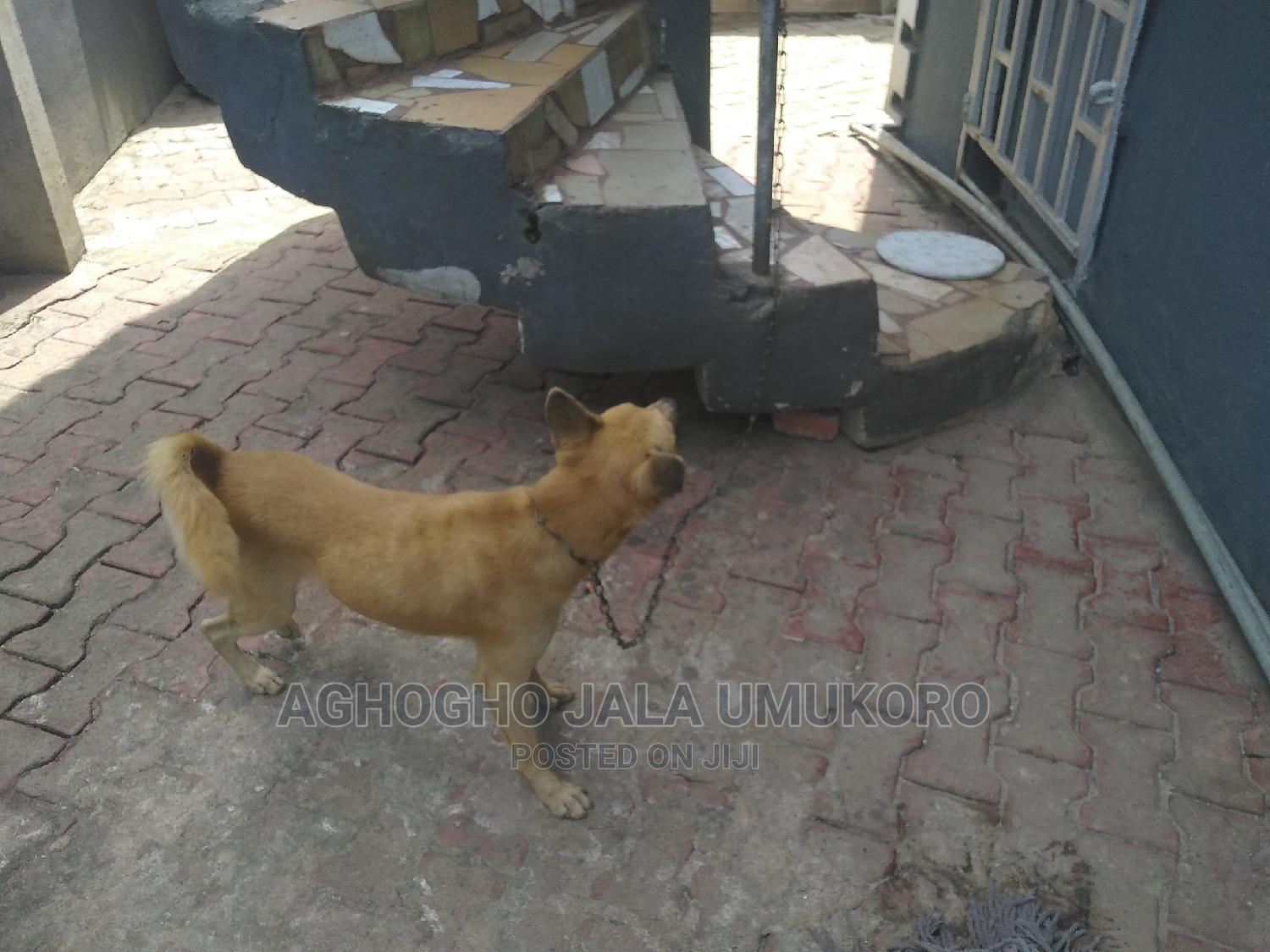 1+ Year Male Mixed Breed Mongrel (No Breed) | Dogs & Puppies for sale in Benin City, Edo State, Nigeria