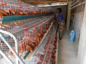 Chicken and Poultry Products for Sale. | Livestock & Poultry for sale in Imo State, Oguta