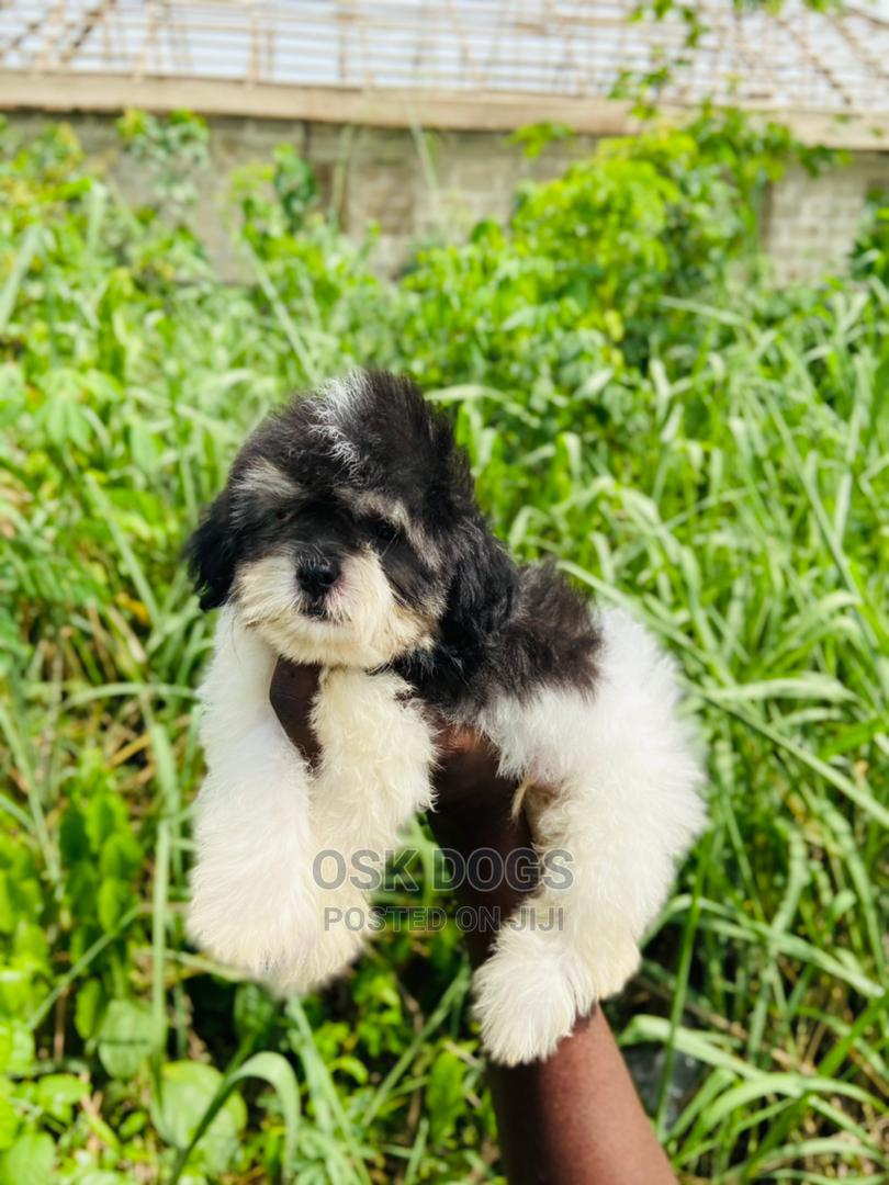 1-3 Month Male Purebred Lhasa Apso   Dogs & Puppies for sale in Ikorodu, Lagos State, Nigeria