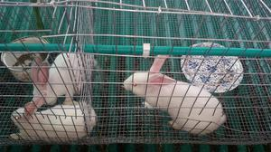 Grower Rabbits   Livestock & Poultry for sale in Lagos State, Ikorodu