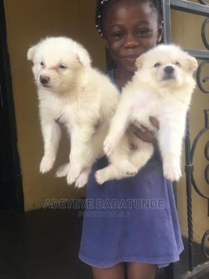 3-6 Month Female Purebred American Eskimo | Dogs & Puppies for sale in Oyo State, Oluyole