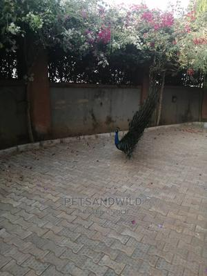 Rainbow Peacock Male & Female | Birds for sale in Abuja (FCT) State, Lokogoma
