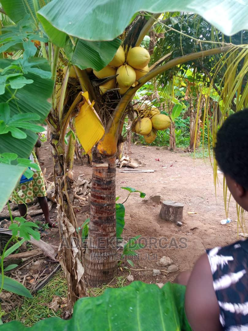 Hybrid Coconut | Feeds, Supplements & Seeds for sale in Ibadan, Oyo State, Nigeria