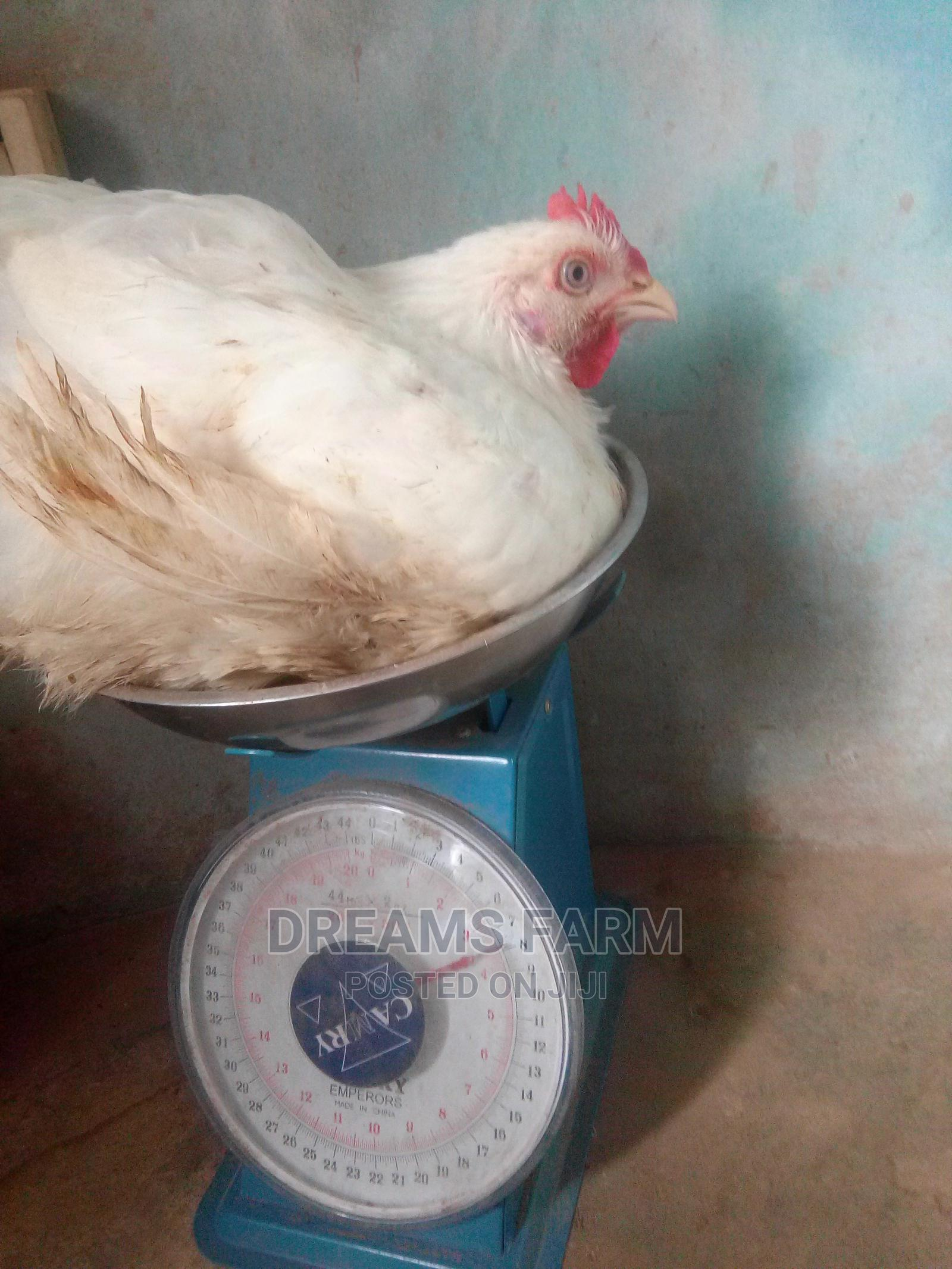Archive: 30 Live Broiler Chicken Available for Sale Limited Offer.