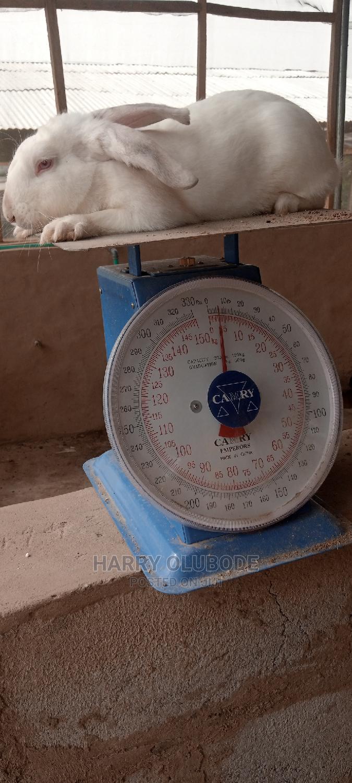 Hyla Max Rabbit | Livestock & Poultry for sale in Ibadan, Oyo State, Nigeria