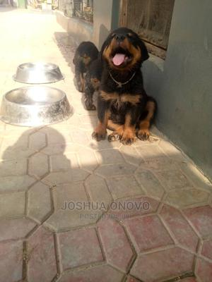 1-3 Month Female Purebred Rottweiler | Dogs & Puppies for sale in Abuja (FCT) State, Asokoro
