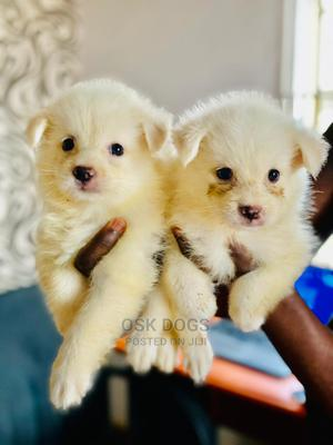 1-3 Month Male Purebred American Eskimo   Dogs & Puppies for sale in Lagos State, Ikorodu
