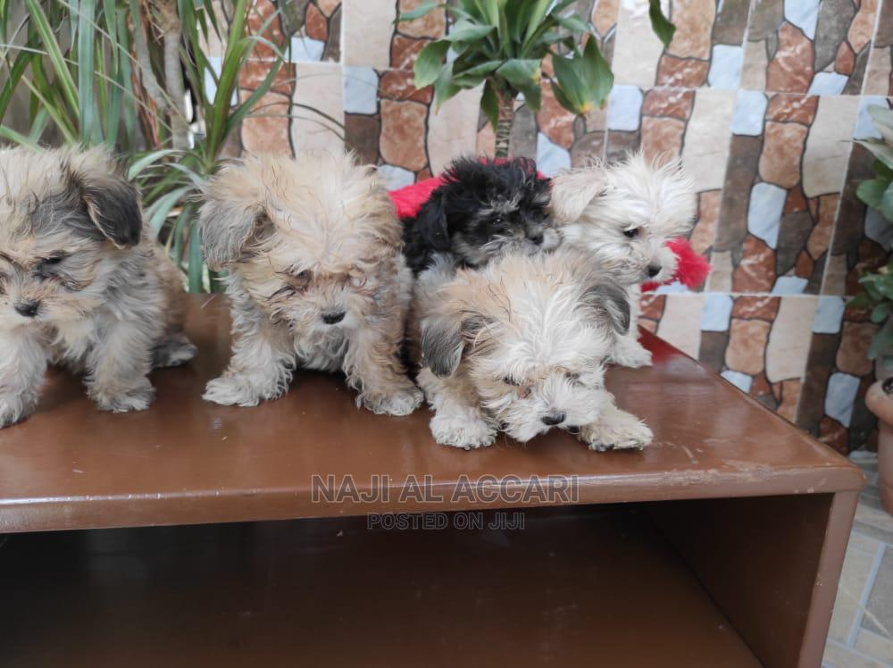 1-3 Month Male Purebred Lhasa Apso | Dogs & Puppies for sale in Nasarawa-Kano, Kano State, Nigeria
