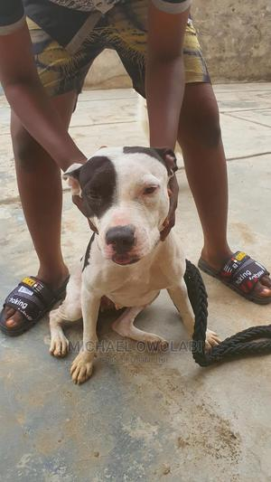 1+ Year Female Purebred American Pit Bull Terrier | Dogs & Puppies for sale in Ogun State, Obafemi-Owode