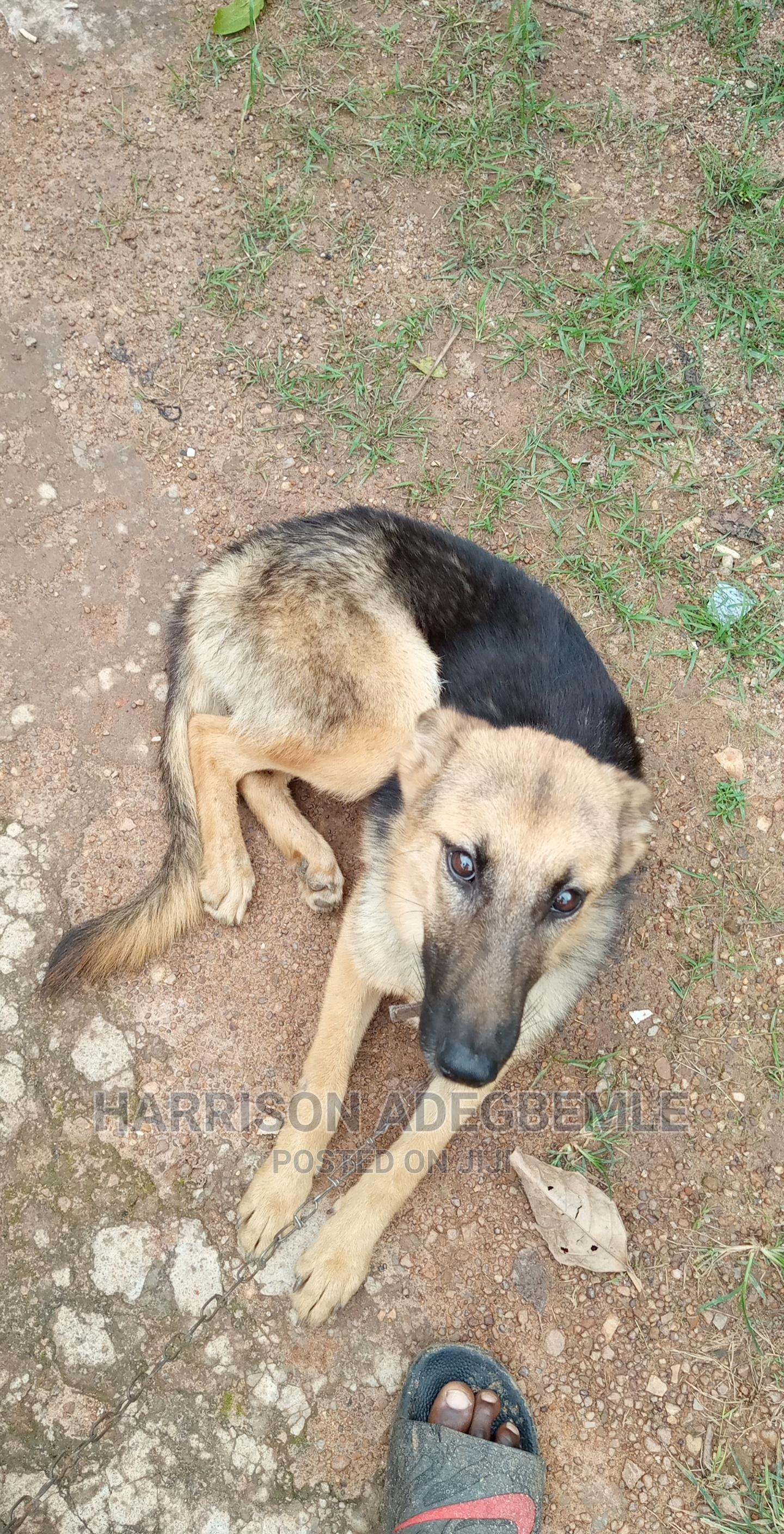 1+ Year Female Purebred German Shepherd | Dogs & Puppies for sale in Ibadan, Oyo State, Nigeria