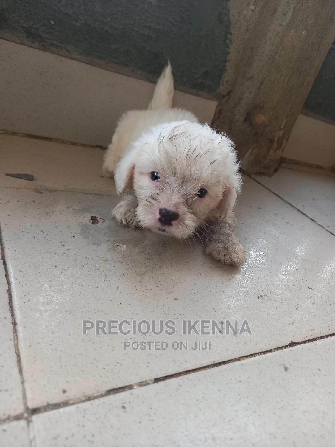 1-3 Month Male Purebred Lhasa Apso | Dogs & Puppies for sale in Surulere, Lagos State, Nigeria