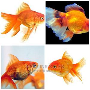 Aquarium Gold Fish | Fish for sale in Lagos State, Surulere