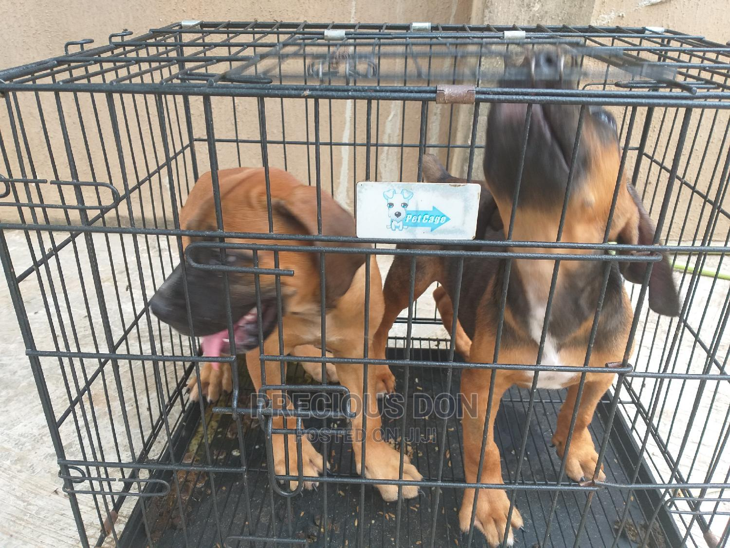 3-6 Month Male Purebred Boerboel | Dogs & Puppies for sale in Ifako-Ijaiye, Lagos State, Nigeria