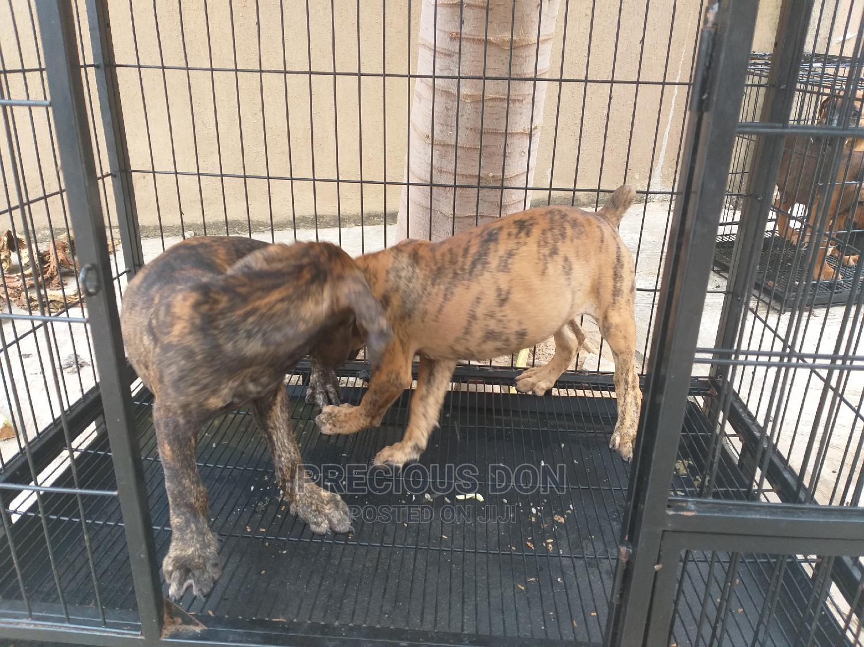 3-6 Month Female Purebred Boerboel   Dogs & Puppies for sale in Ifako-Ijaiye, Lagos State, Nigeria