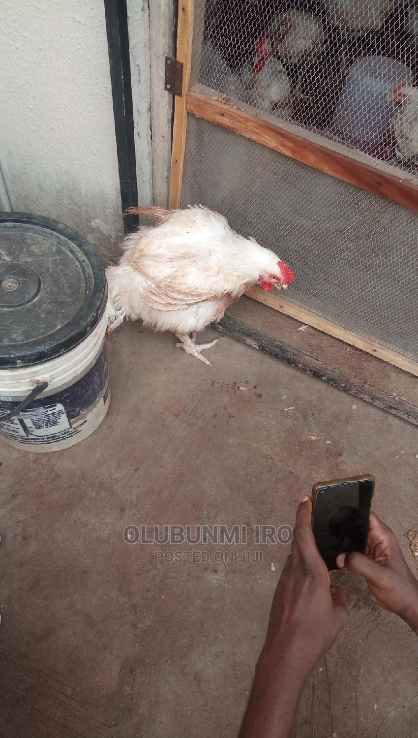 4month Broiler Chicken | Livestock & Poultry for sale in Alimosho, Lagos State, Nigeria