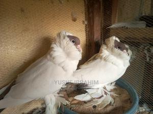 Moreehead Pigeons | Birds for sale in Katsina State, Katsina