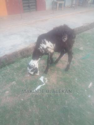 We Sell Rams   Livestock & Poultry for sale in Ogun State, Abeokuta South
