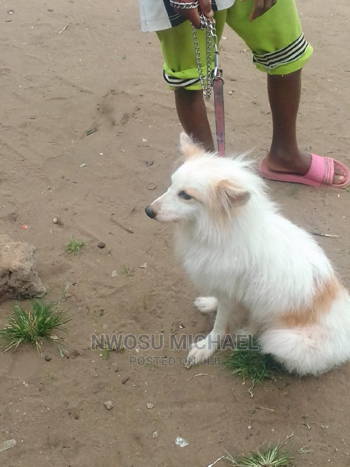 Archive: 1+ Year Male Mixed Breed American Eskimo