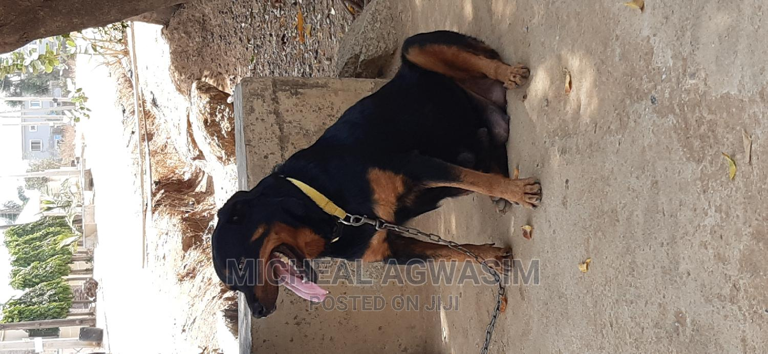 Archive: 1+ Year Female Purebred Rottweiler